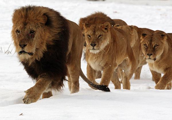 Львы в снегу
