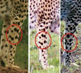 Рисунки и информацией гепард